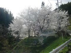 sakura_0359.jpg